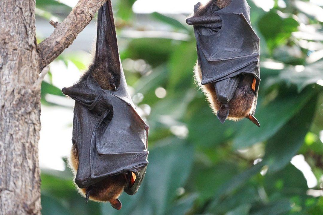 Murciélagos grandes transmisores de patógenos